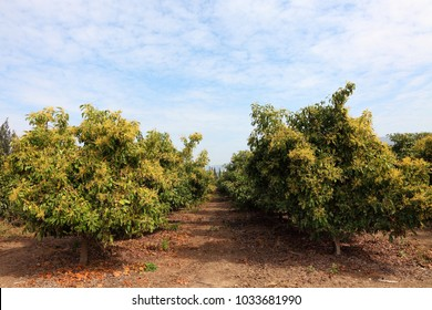 Avocado growing. Avocado trees during the flowering. Agricultural plantation