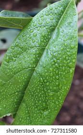 Avocado Leaf After Rain