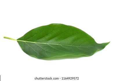 Avocado leaf green on white background.