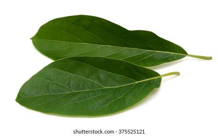Avocado leaf isolated on a white background