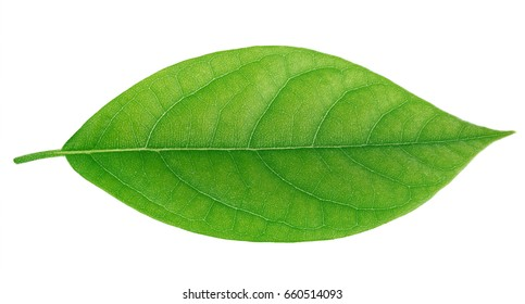 Avocado Leaves Pictures