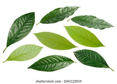 Avocado leaves (Persea americana). Clipping paths for each