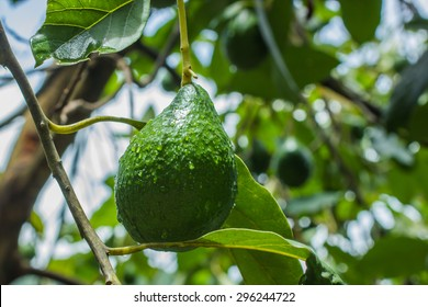 Avocado or nut butter fruit with meat it is butter. Is a native tree of Puebla in Mexico.
