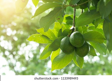 Avocado on plant or Raw avocado on tree fresh product in Thailand's organic farm,Avocado fruit on tree useful for works like brochure, magazine, food business or other industrial.