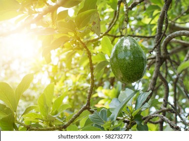 Avocado on plant or Raw avocado on tree fresh product in Thailand's organic farm, Avocado fruit on tree useful for works like  brochure, magazine, food business or other industrial.