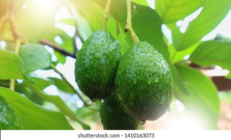 Avocado a pear-shaped fruit with a rough leathery skin, smooth oily edible flesh, and a large stone.
