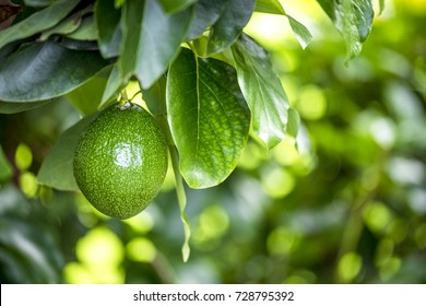 The avocado (Persea americana) is a tree that is native to South Central Mexico, classified as a member of the flowering plant family Lauraceae