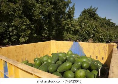 Avocado plantation