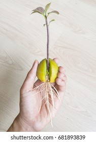 Avocado sprout on human hand, concept of new life and care