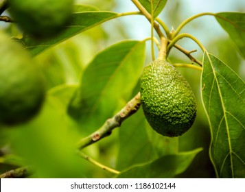 the Avocado Tree