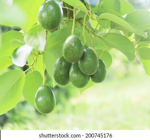 Avocado in the tree