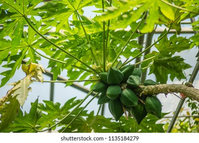 Avocado tree cultivation with riping hanging fruits.