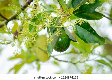 Avocado Tree with avocado fruit grow in orchard.