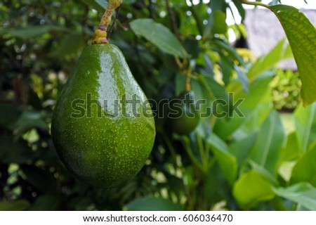 Avocado Tree with avocado fruit grow in orchard. Food background