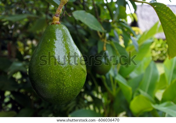 Avocado tree with avocado fruit grow in orchard. Food background.No people. Copy space