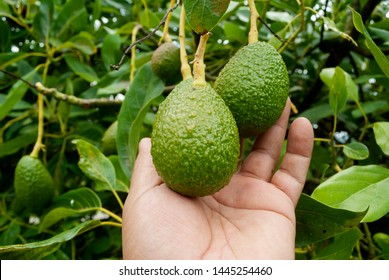 Avocado tree and man hand in Guatemala, Central America, green economy, export crop, harvest.