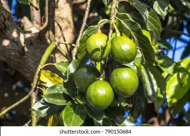 avocado tree in Peruibe, Brazil