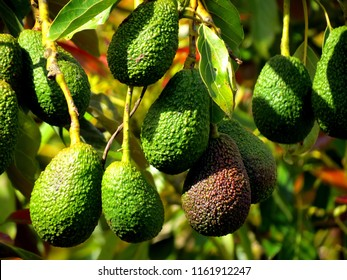 Avocado trees New Zealand