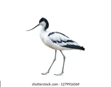 Avocet bird walking, isolated over a white background