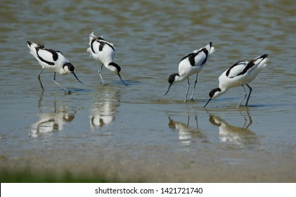 Avocet birds standing in the water in front of each other