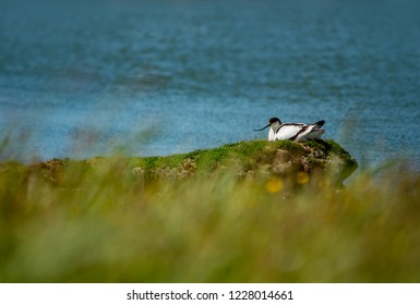 avocet breeding at the waterside in Texel Holland Netherlands