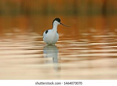 Avocet male walking on lake