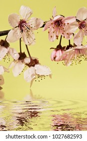 awakening of spring, flowery branch with beautiful pink buds are reflected in a mirror of water