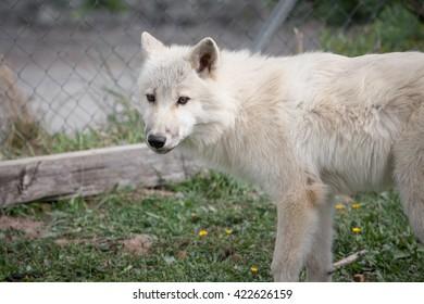 Awesome arctic wolf outdoor shot.  Animal shot capturing White Arctic Polar Wolf.