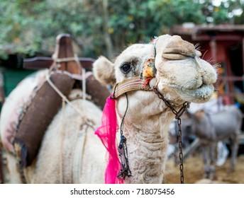 Awesome camel