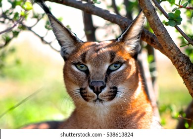 Awesome Caracal stare - Magnificent / Beautiful Creature