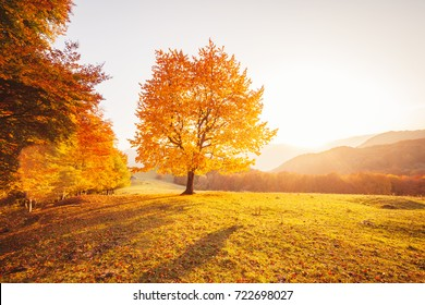 Awesome image of the shiny beech tree on a hill slope at mountain valley. Dramatic scene. Orange and yellow leaves. Location place Carpathians, Ukraine, Europe. Beauty world. Soft filter effect.