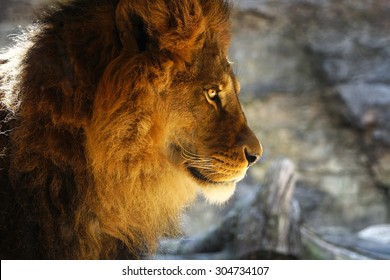 Awesome Lion male profile with amazing light