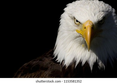 awesome look of bald eaglw in blackbackground