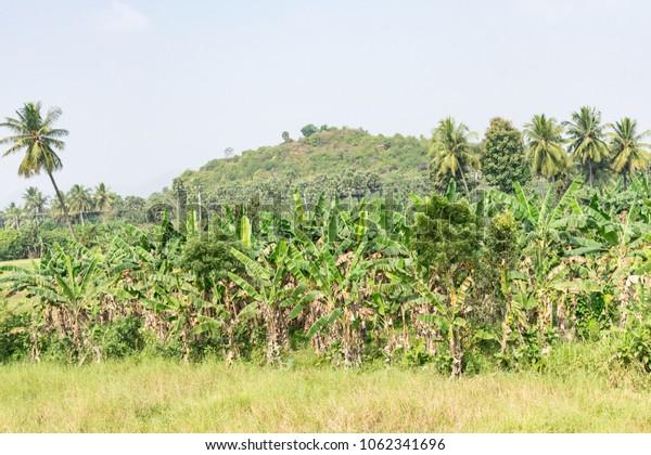 Awesome looking of banana farming at sunny day.