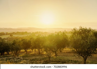 Awesome sunset over olive trees field in Tuscany, Italy.