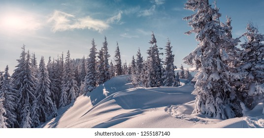 Awesome Winter nature landscape. Scenic image of fairy-tale woodland in sunlit at winter. Majestic frozen pine trees under sunlight at Alpine highland with perfect sky. Wonderful Natural background.
