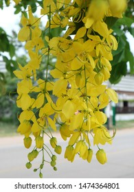 Awesome Yellow Cassia fistula beautiful tropical plants in Sunny day.