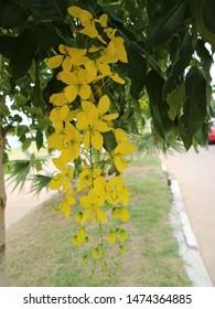 Awesome Yellow Cassia fistula tropical plants beautiful.