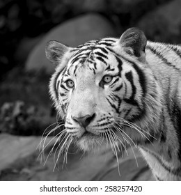 Awful stare of adorable white bengal tiger close up. Excellent big cat, but dangerous raptor. Picturesque face portrait of expressive animal. Amazing beauty of wildlife.