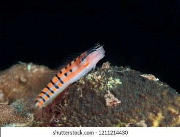 Axelrod's clown blenny  (Ecsenius axelrodi) resting on coral reef of Bali, Indonesia