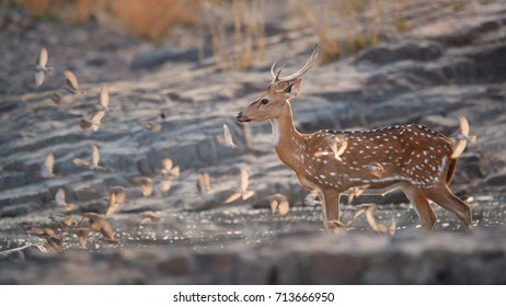 Axis deer, Chital, indian spotted deer walking through small waterhole, standing in water.. Axis and flock of birds against rocky background. Low angle wildlife photography in Ranthambore, India.