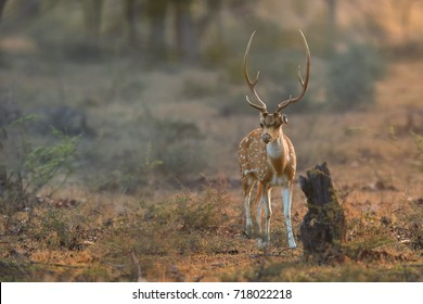 Axis deer, Chital, indian spotted deer walking through dry forest, staring directly at camera. Axis in jungle illuminated by early morning sun. Low angle wildlife photography in Ranthambore, India.