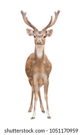 axis deer or chital isolated on white background