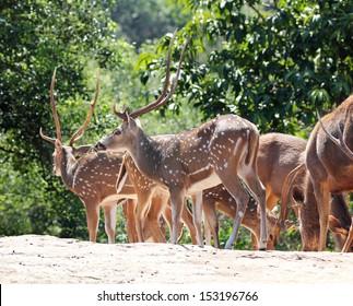 Axis deer ( spotted deer ) & sambar deer ( Philippine deer ) in a forest of India.