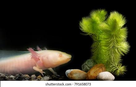 Axolotl (Ambystoma mexicanum) in aquarium