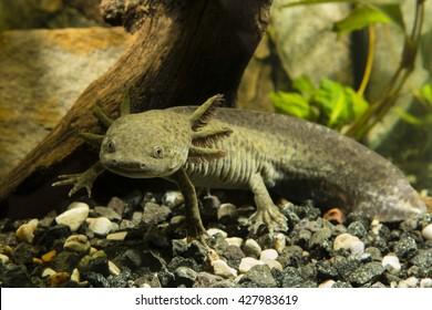 Axolotl in the aquarium