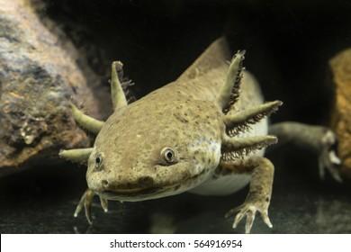 Axolotl aquarium.