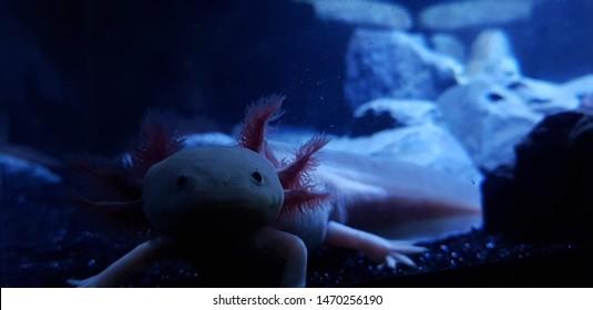 Axolotl aquarium, salamander, nature, tank