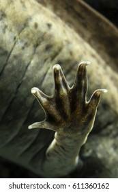 Axolotl hind paw.