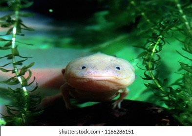 Axolotl immersed in water